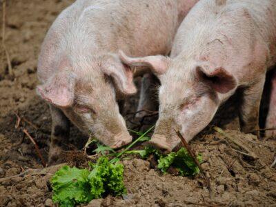 Schwein - Speck, Schinken, Filet